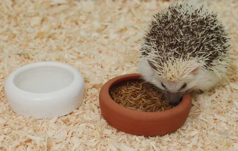 Foods and Treats for Your Pet Hedgehog